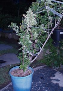 20110617山椒の木