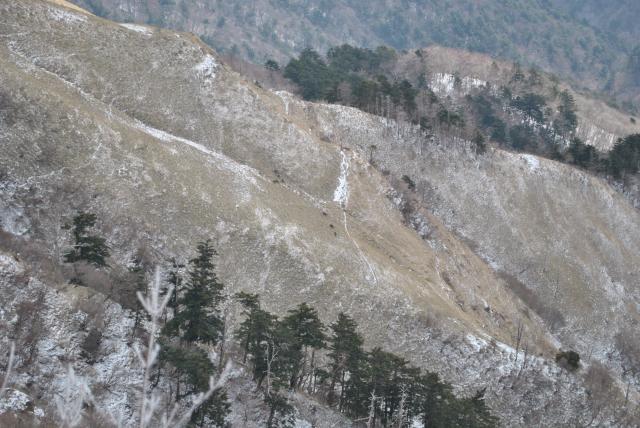 20120325三嶺南面のシカの群れ