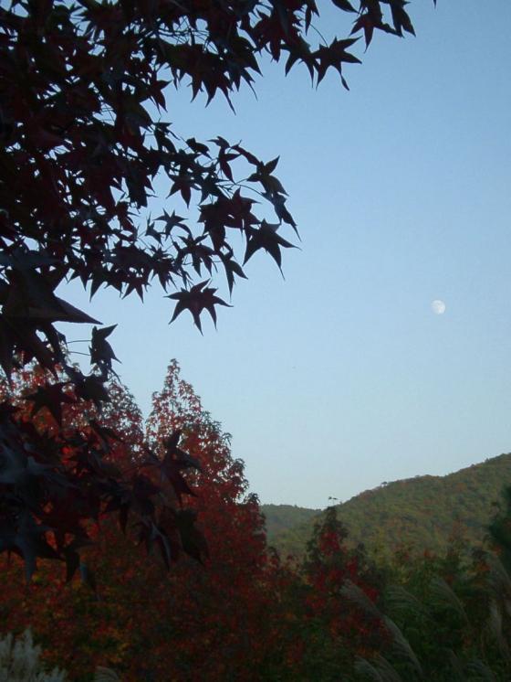 291モミジフウと白い月