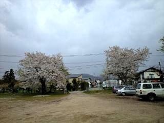現地の桜(その1)