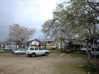現地の桜(その2)