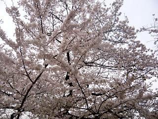 お花見(その6)