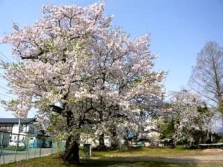 福島の桜(その1)