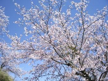 日の隈山の桜15