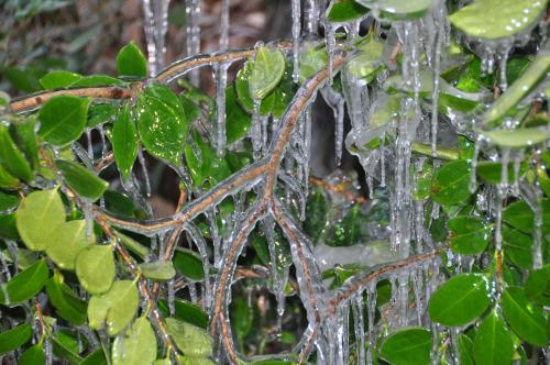 氷浸けの木