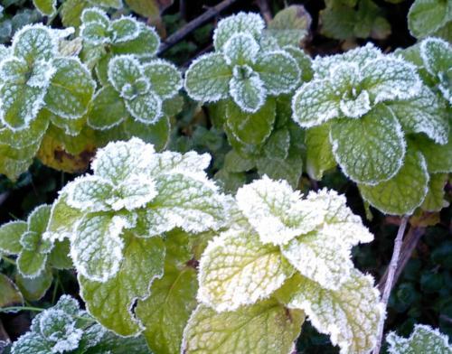 ミントの霜