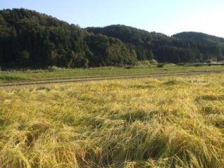 h21稲刈り前