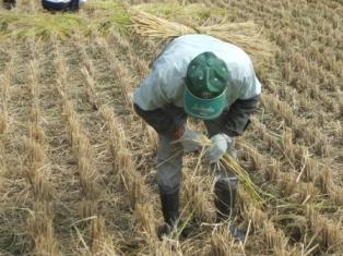 H21稲刈りHP5