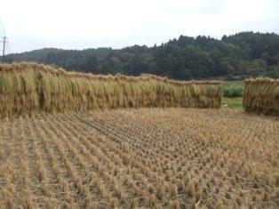H21稲刈りHP6