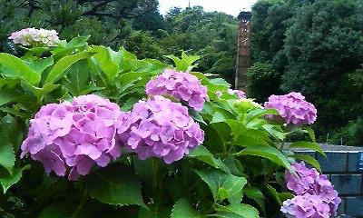 玄関の紫陽花(H22.6.29)