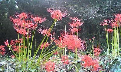 裏庭の彼岸花(2010.09.23)