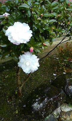 山茶花(2010.12.2)