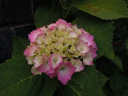 玄関の紫陽花(2011-06-08)