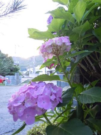 夕景と紫陽花2(2011-06-28 19:00)