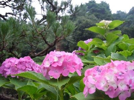 早朝の紫陽花(2011-07-02)
