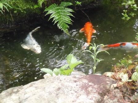 池の鯉(2011-07-02)