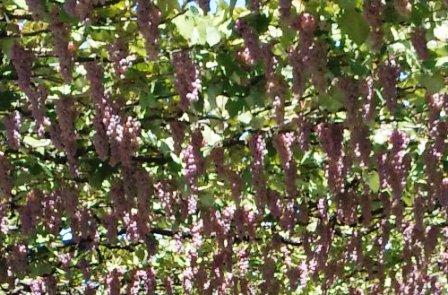 02-grape-003.jpg