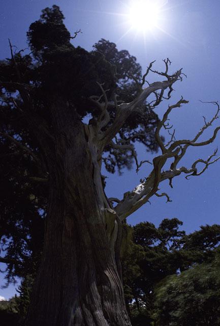 月光のビャクシン杉