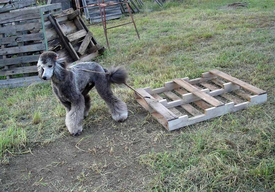 スタンプーそり犬