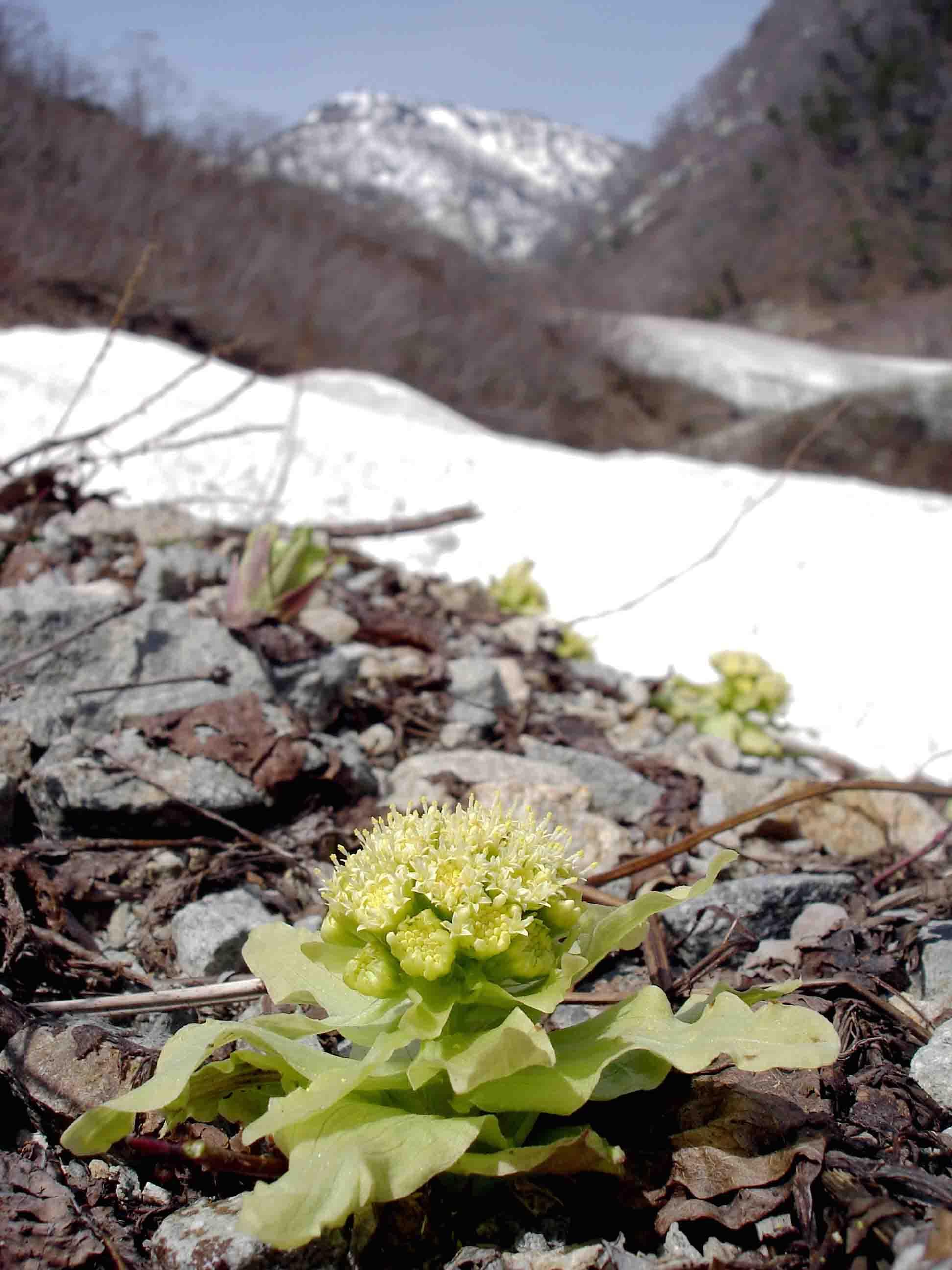残雪とフキノトウ