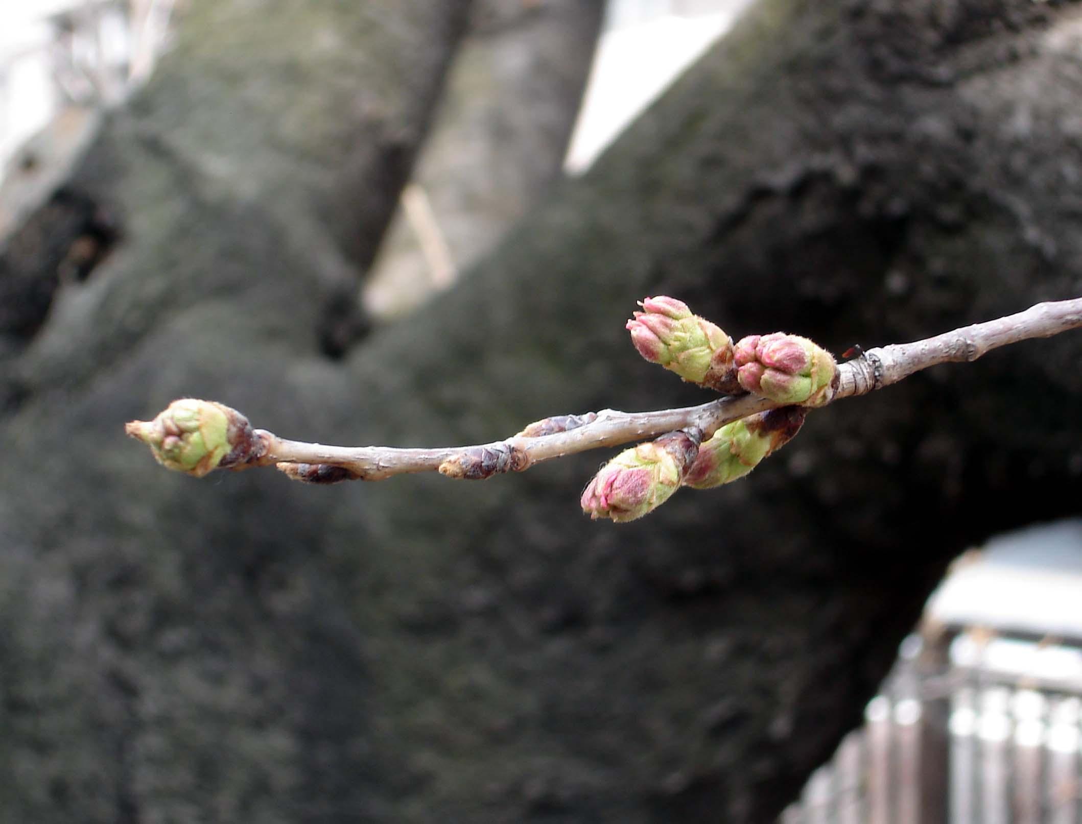 3月19日桜の様子⑤