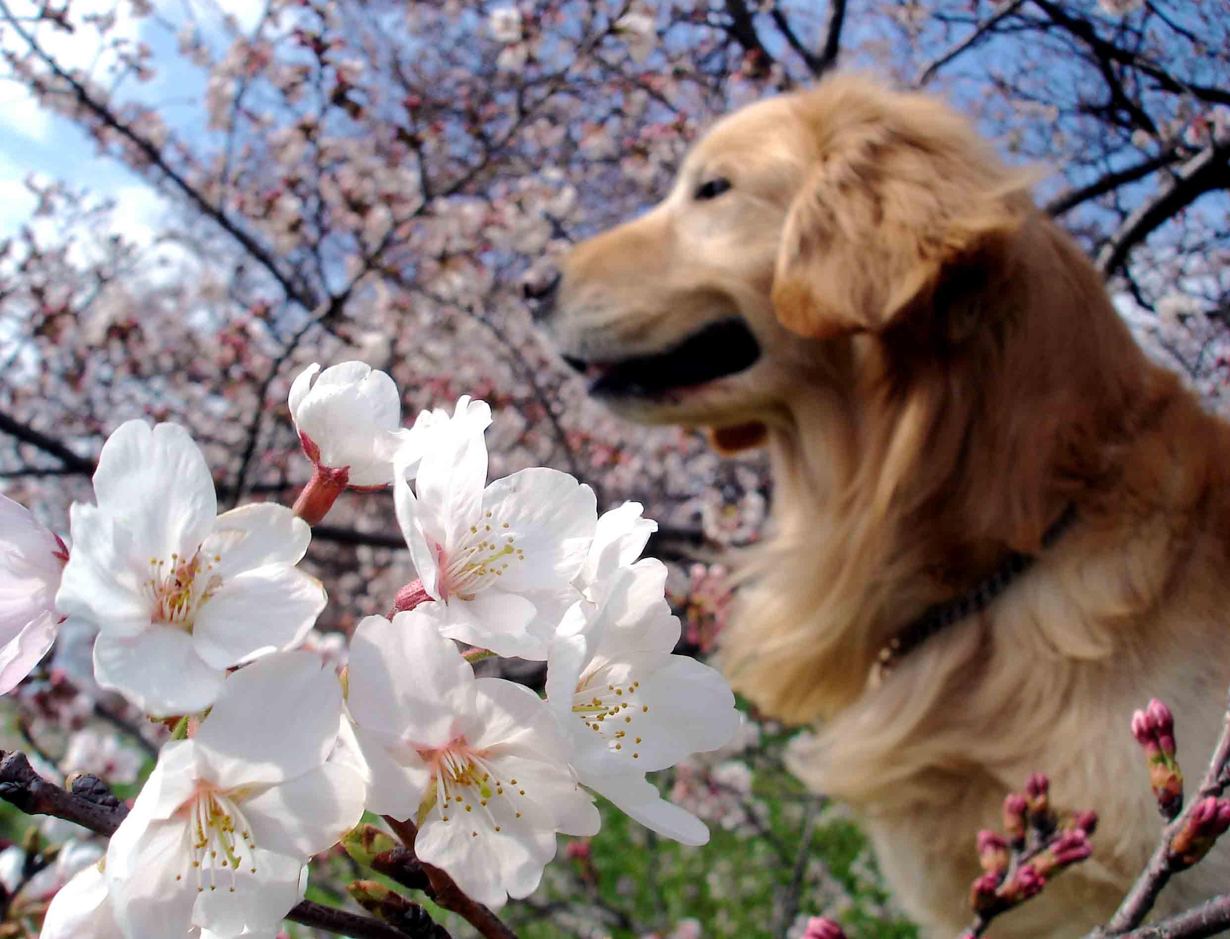 金と桜③ 「花薫る」