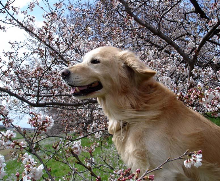 金と桜④ 「南風」