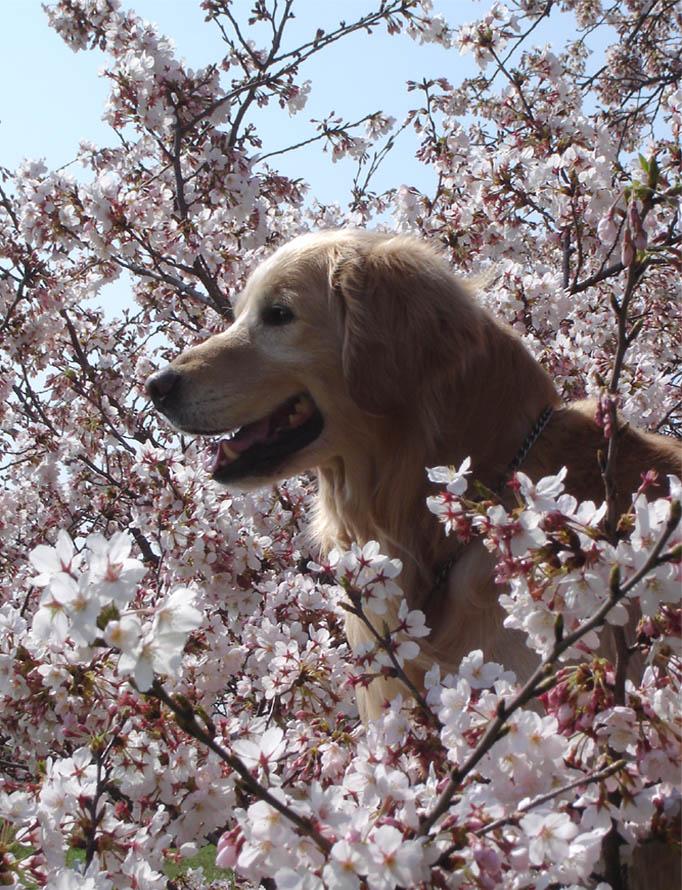 桜第4弾①