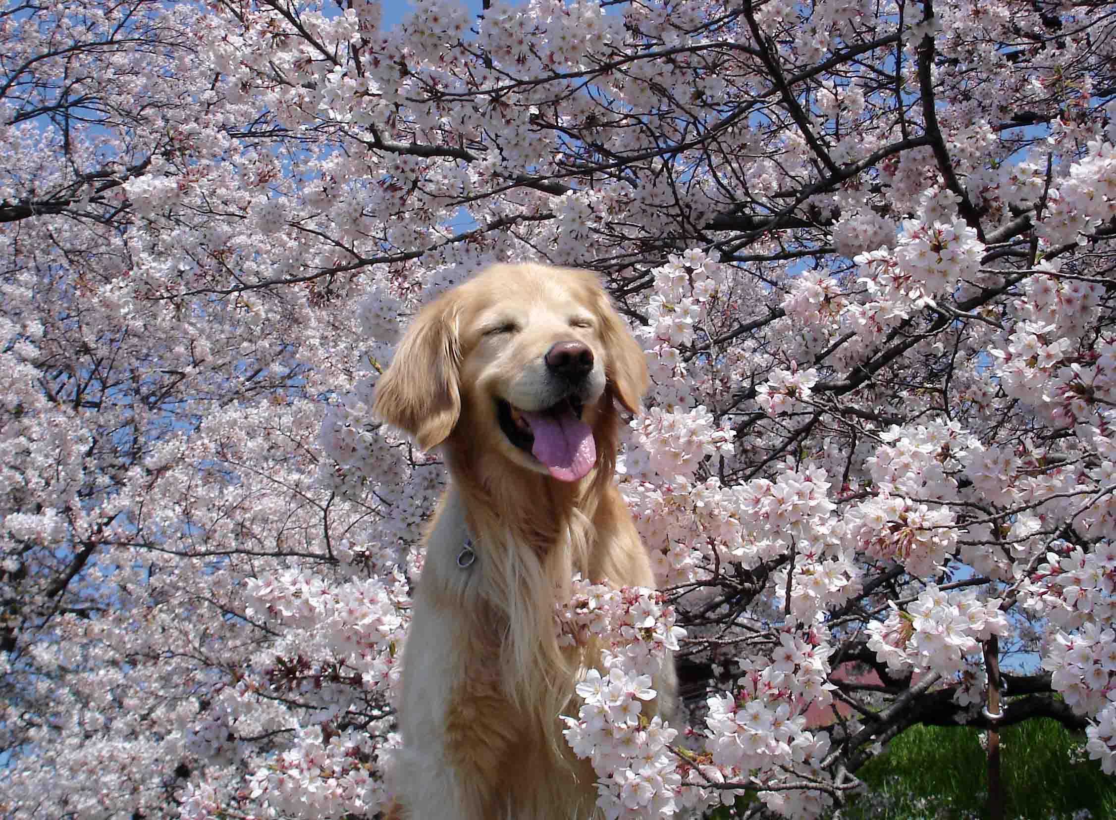 「桜 犬」の画像検索結果