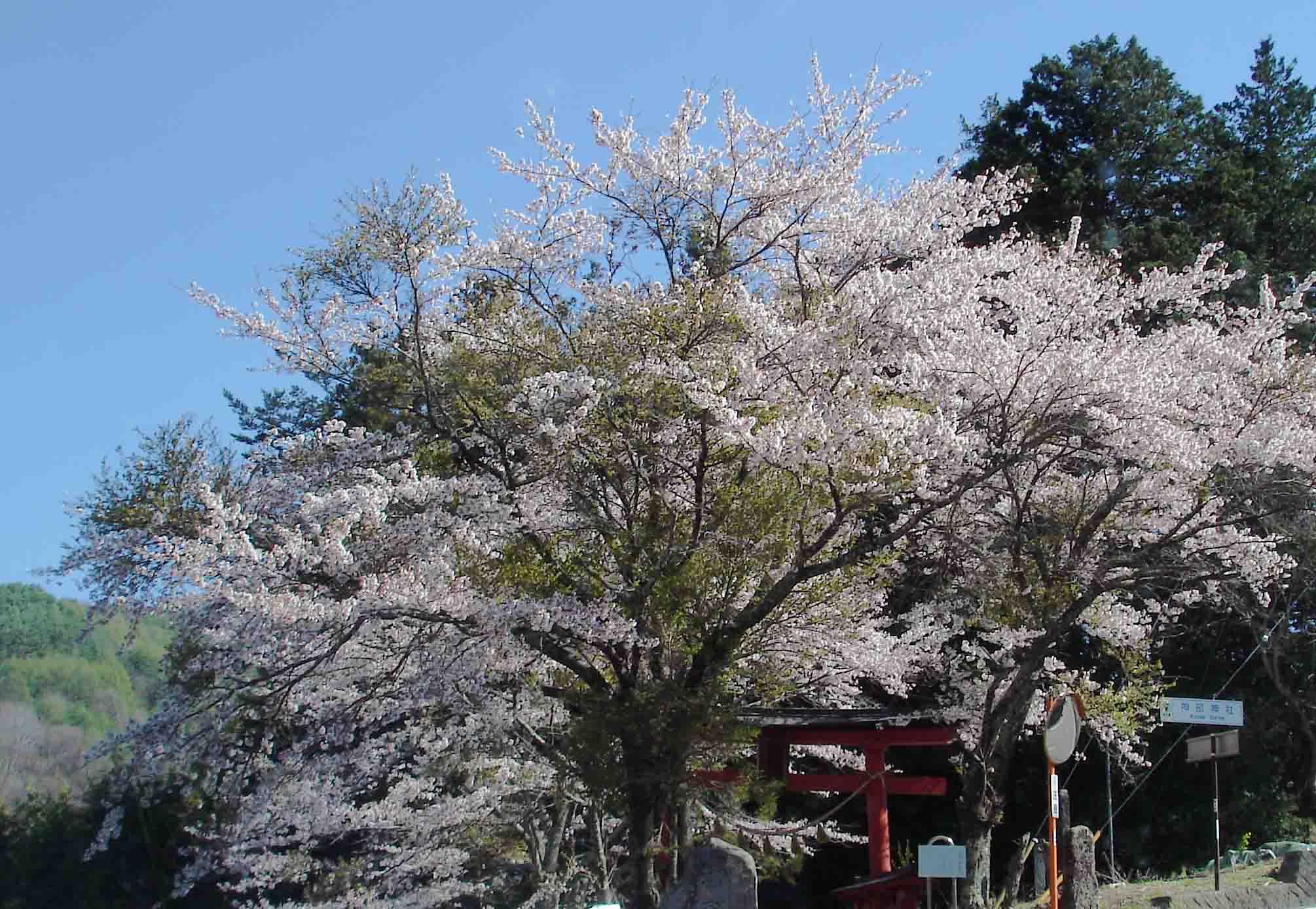 川上村TC-22 途中のサクラ 花枝と葉枝