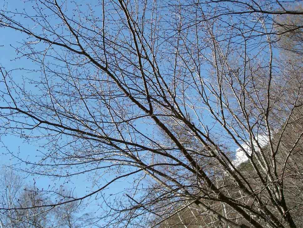 川上村TC-31 まだ咲かないオオヤマザクラ