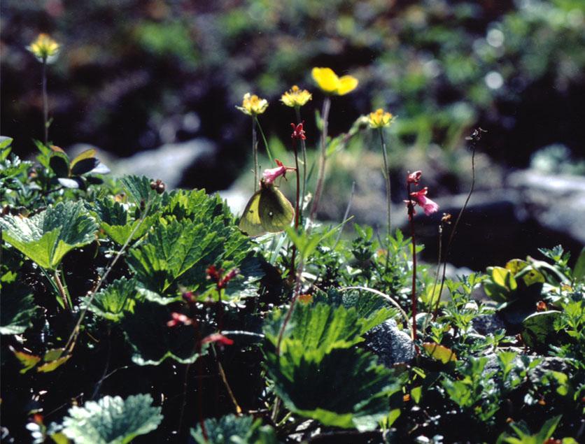 夏の高山蝶② コイワカガミで吸蜜中のミヤマモンキ♂