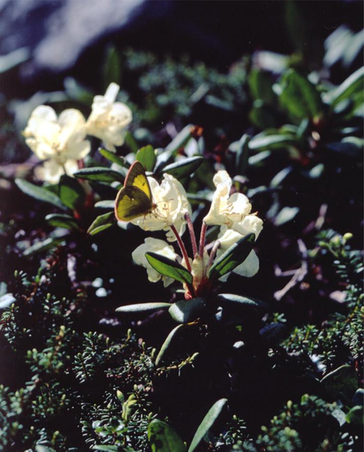 夏の高山蝶④ キバナシャクナゲで吸蜜中のミヤマモンキ♂