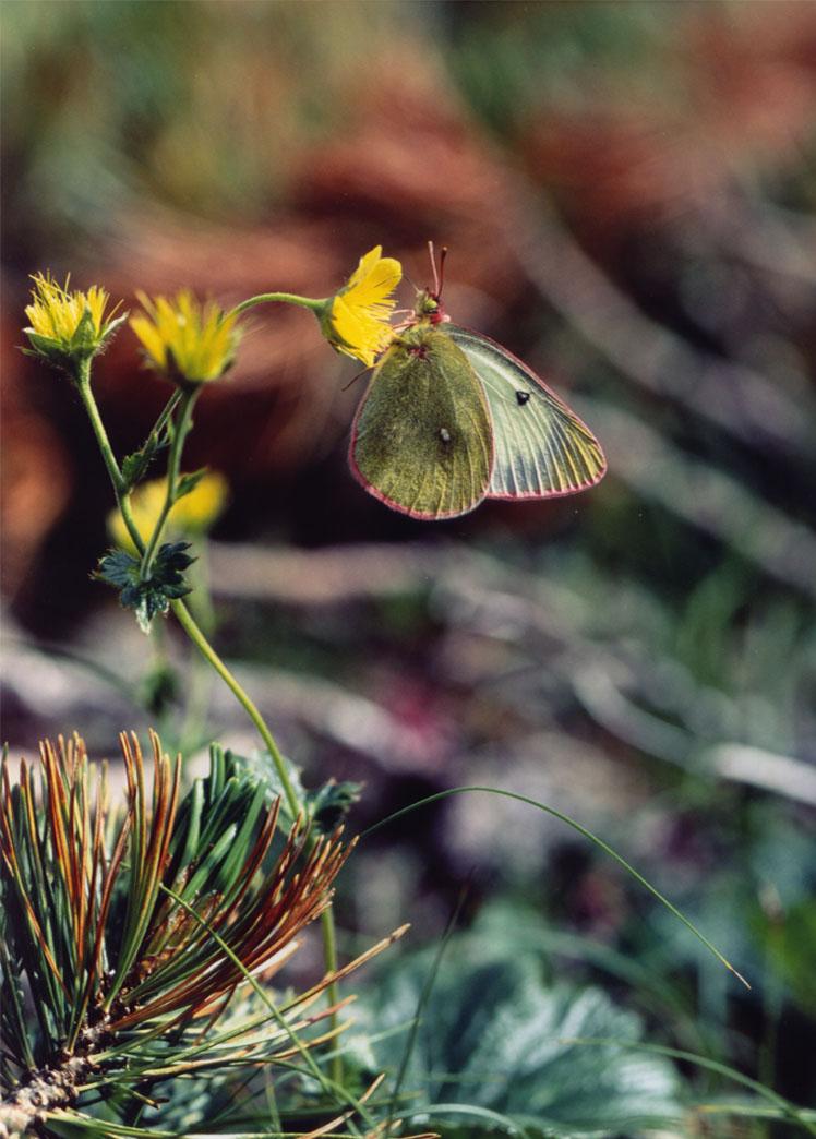 夏の高山蝶⑥ ミヤマダイコンソウで吸蜜中のミヤマモンキ♀