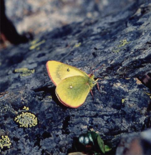 夏の高山蝶⑦ 朝の岩の上で(ミヤマモンキ♂)アップ