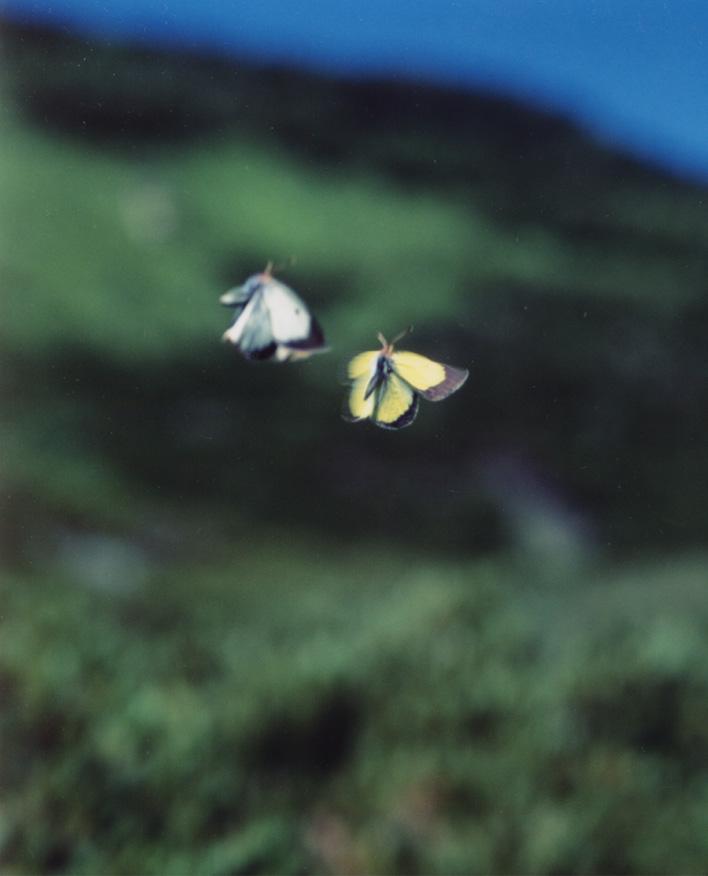 夏の高山蝶⑩ 求愛し