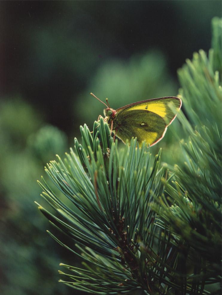 夏の高山蝶⑬ ハイマツで休止中のミヤマモンキ♂
