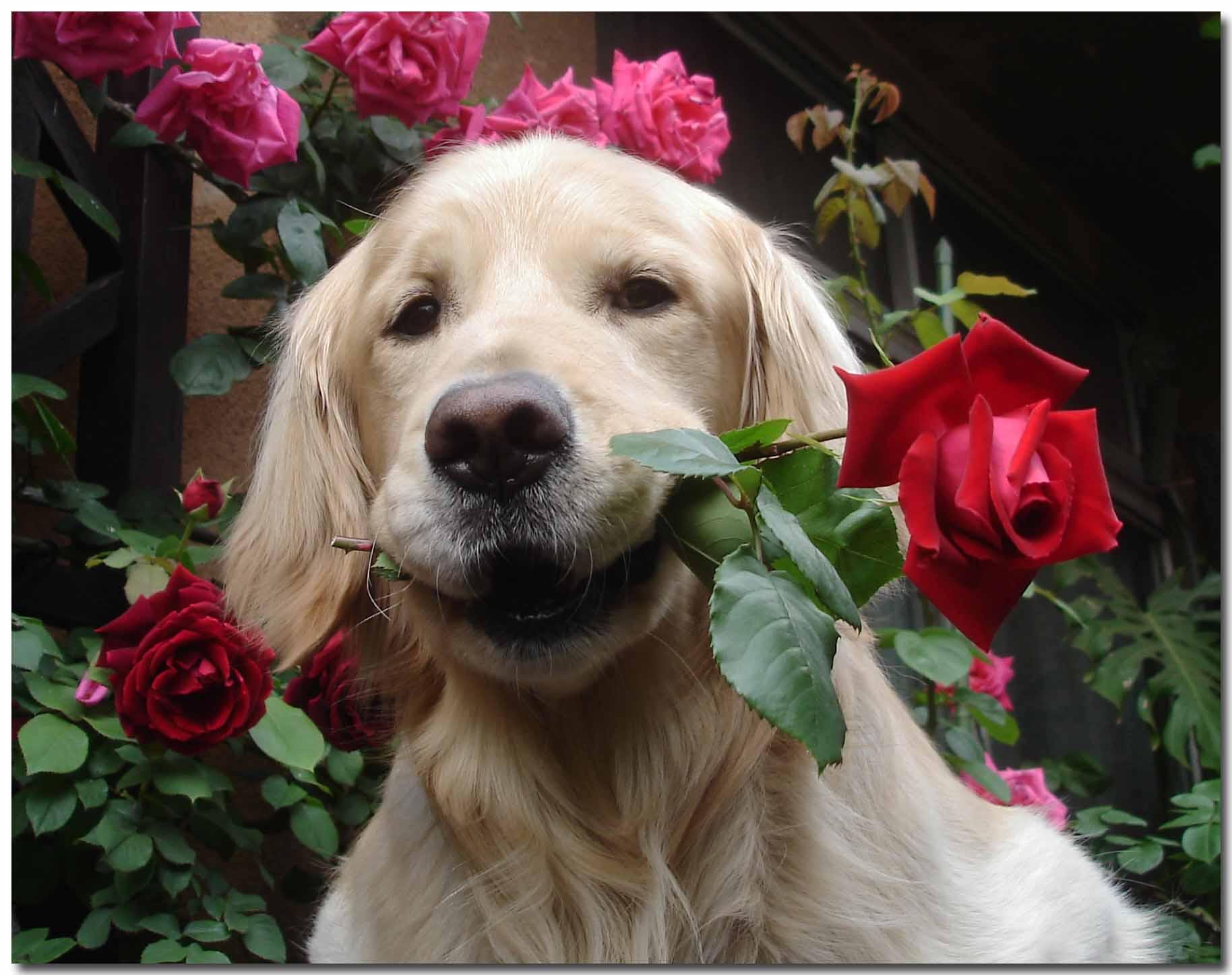 バラを銜えたチャンス