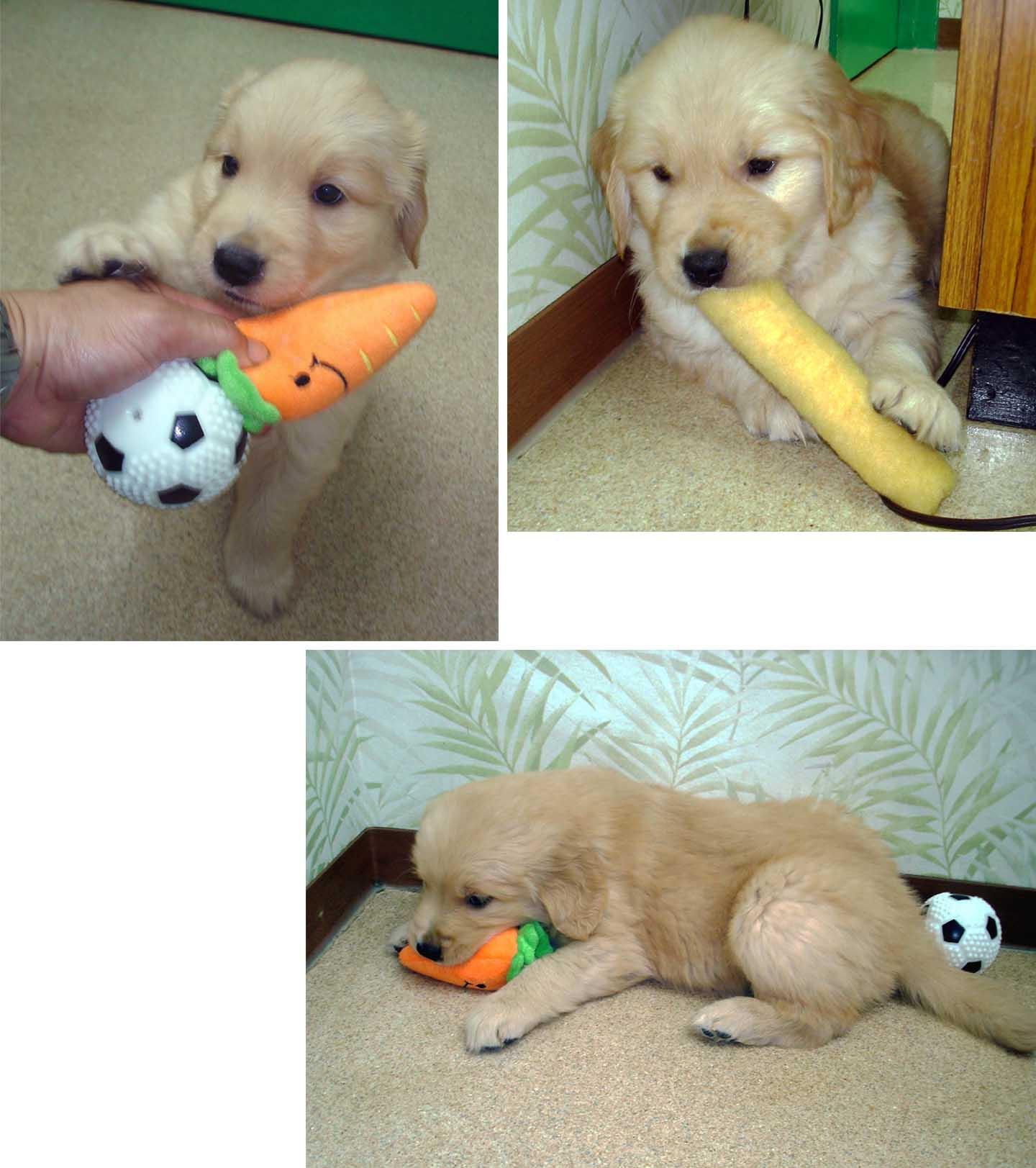 ゴールデンの子犬 42日齢④