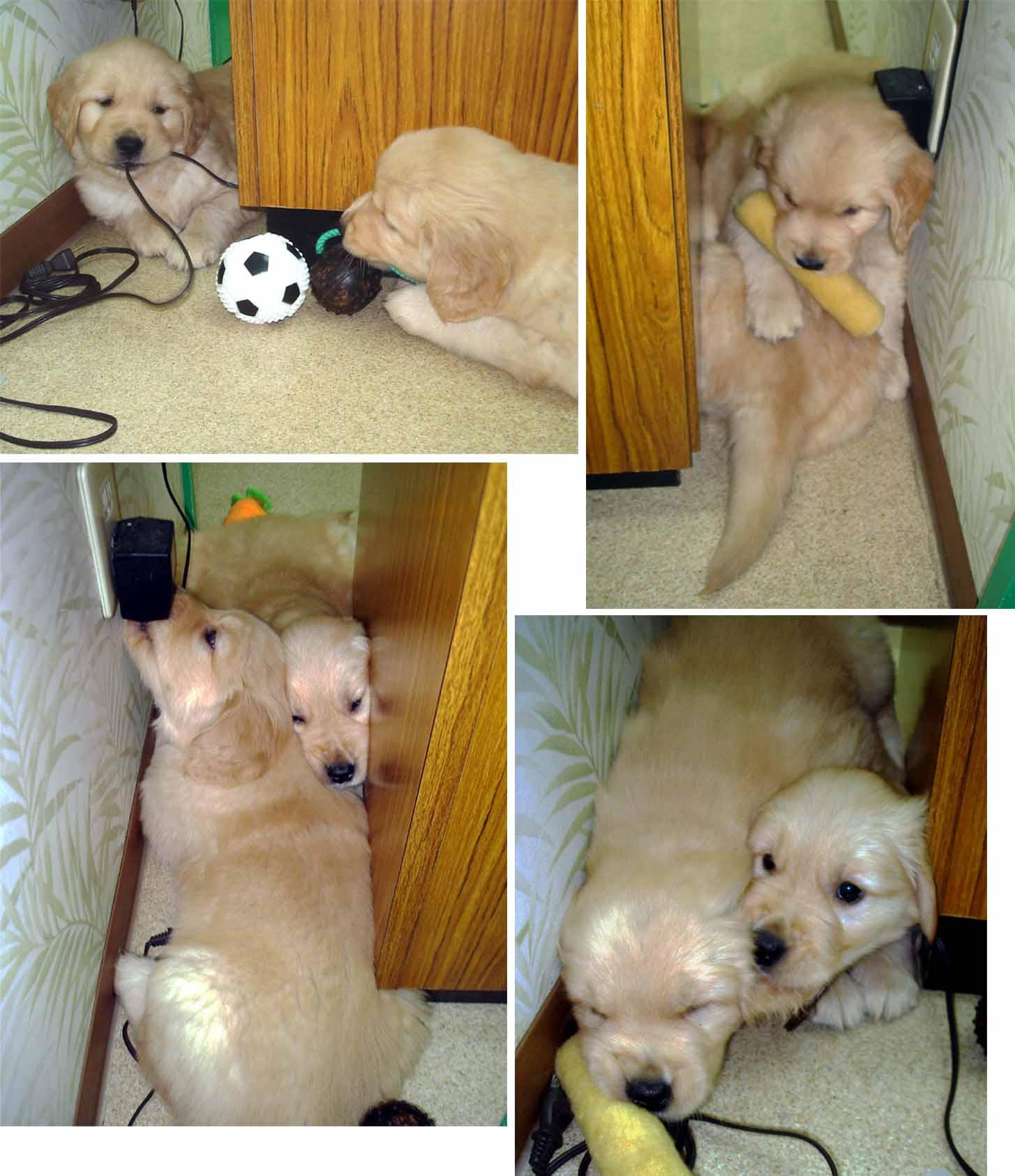 ゴールデンの子犬 42日齢⑤