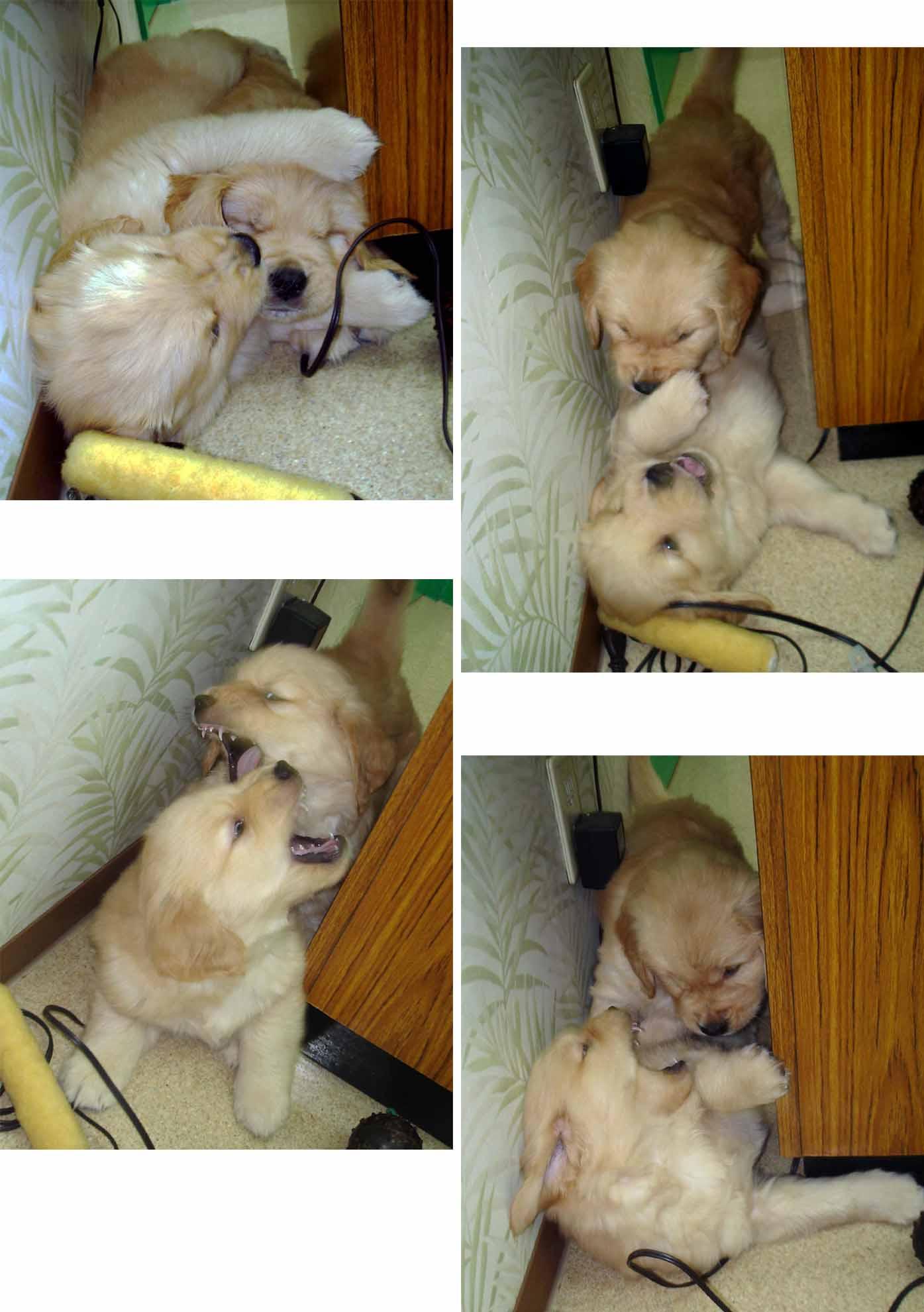 ゴールデンの子犬 42日齢⑥