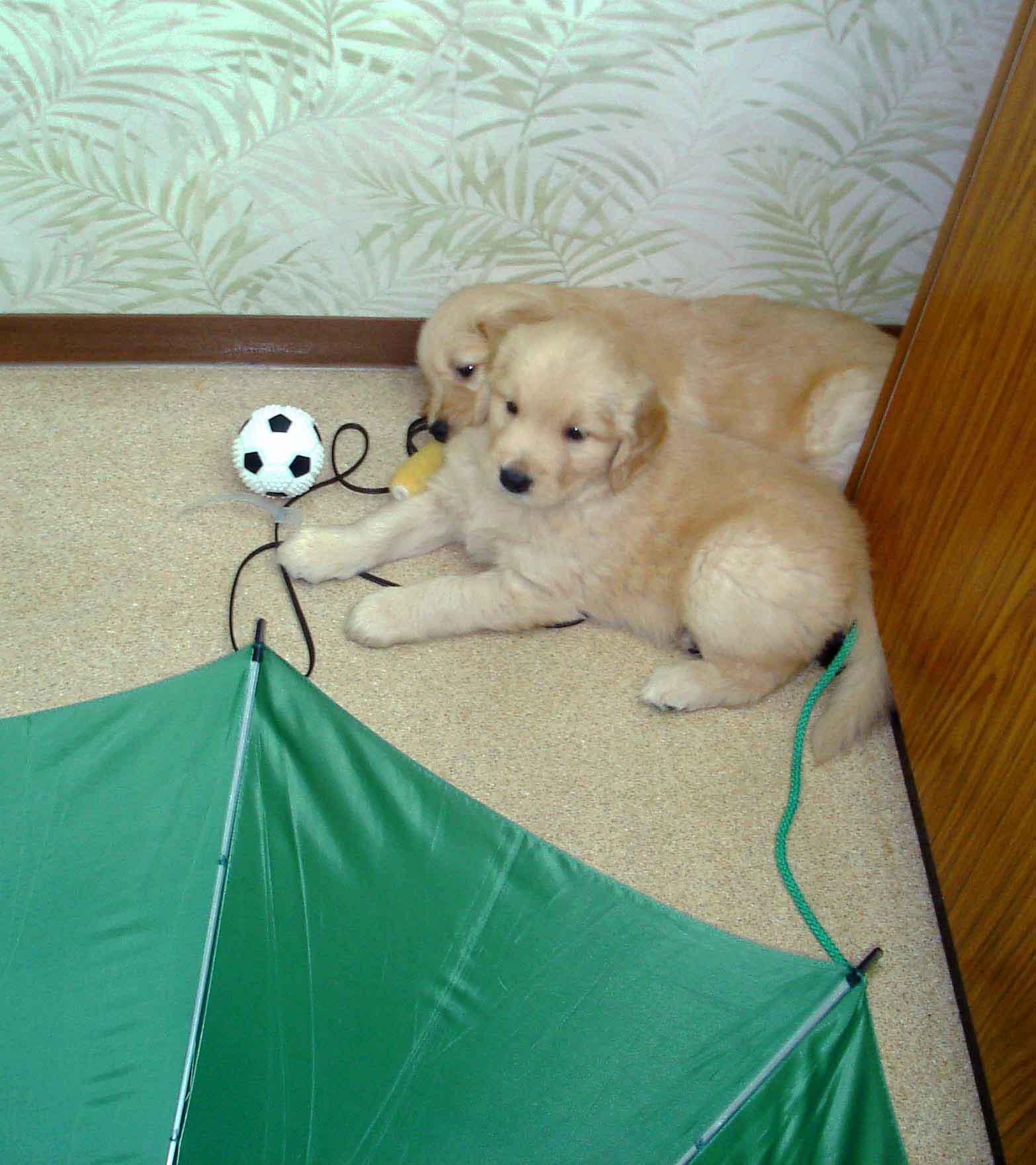ゴールデンの子犬 42日齢⑧