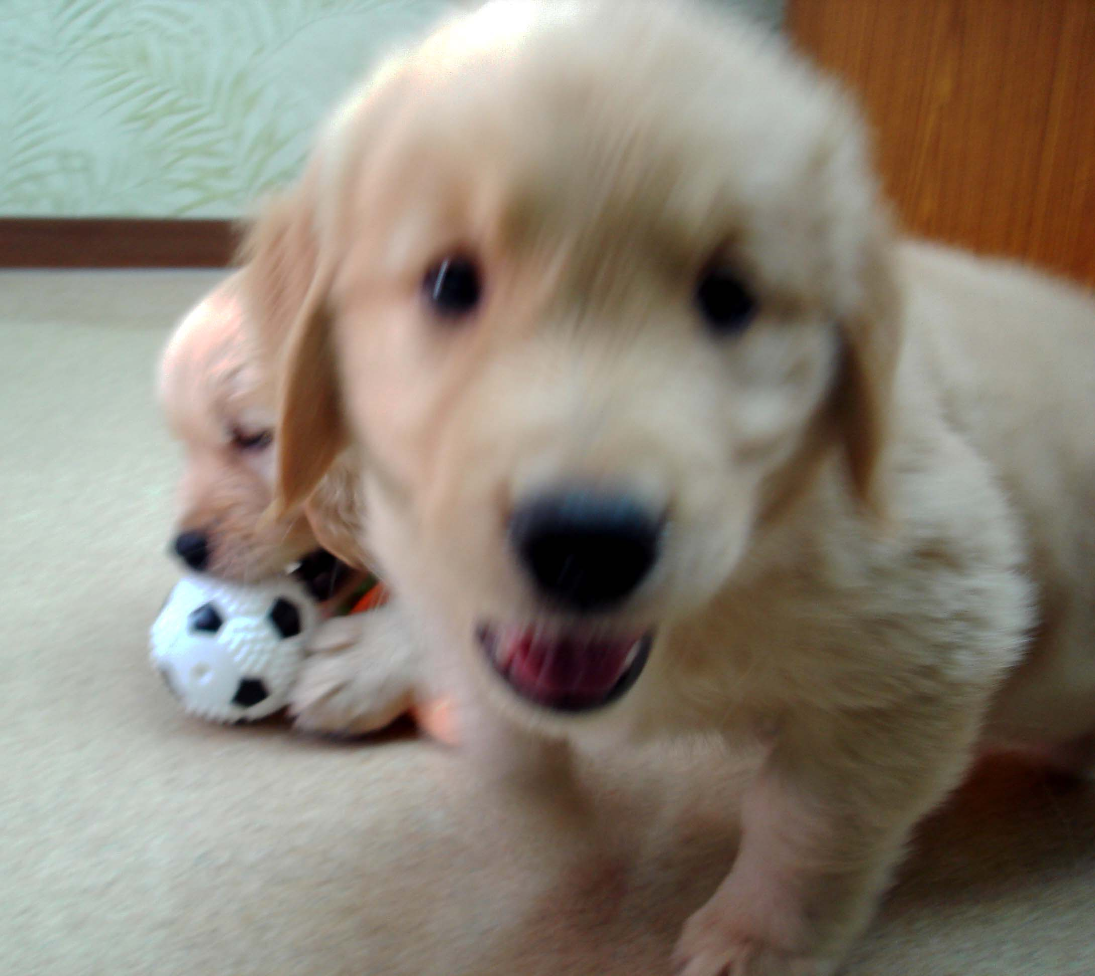 ゴールデンの子犬 51日齢①