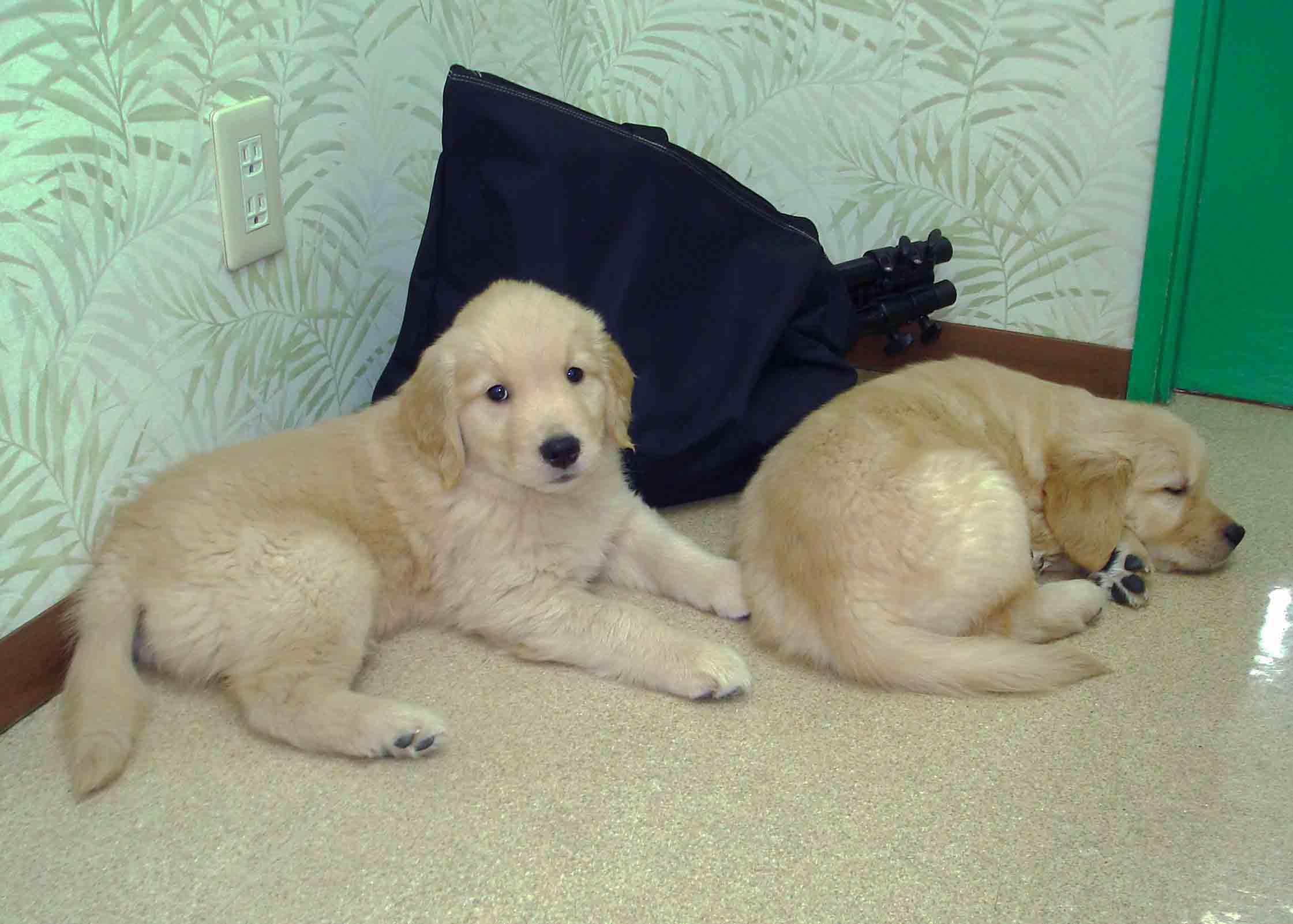 ゴールデンの子犬 51日齢②