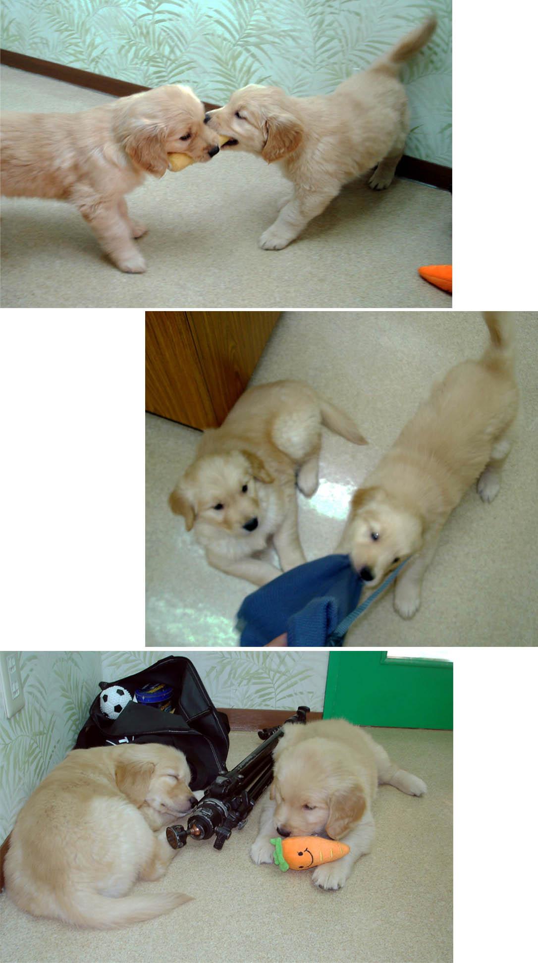 ゴールデンの子犬 51日齢③