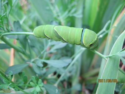 幼虫056_アゲハconvert_20110604021652
