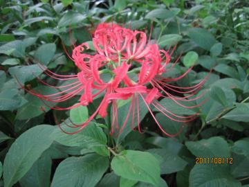IMG_6523ヒガンバナ_convert_20110815231316