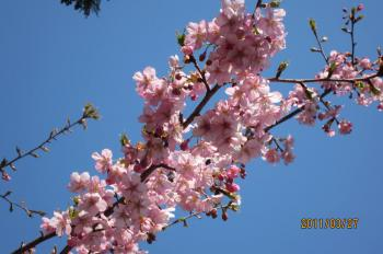IMG_0619_convertかわず桜_20120329015049