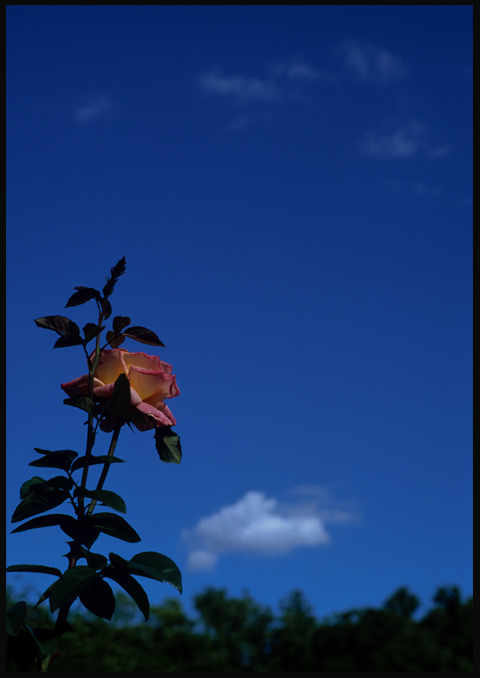 rose09best.jpg