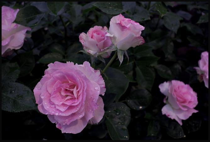 rosep07k102.jpg